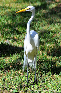 great_egret002