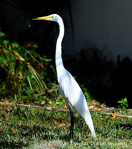 great_egret004
