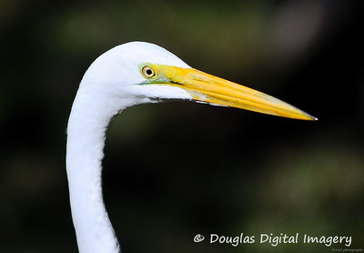 great_egret001