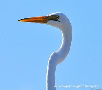 great_egret003