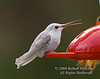 White Hummingbird, Leucistic Black-chinned Hummingbird, Archilochus alexandri, La Plata County, Colorado, USA, North America, Approximate elevation 7500 feet, Class: Aves, Subclass: Neornithes, Infraclass: Neognathae, (unranked) Cypselomorphae, Order: Apodiformes, Family: Trochilidae