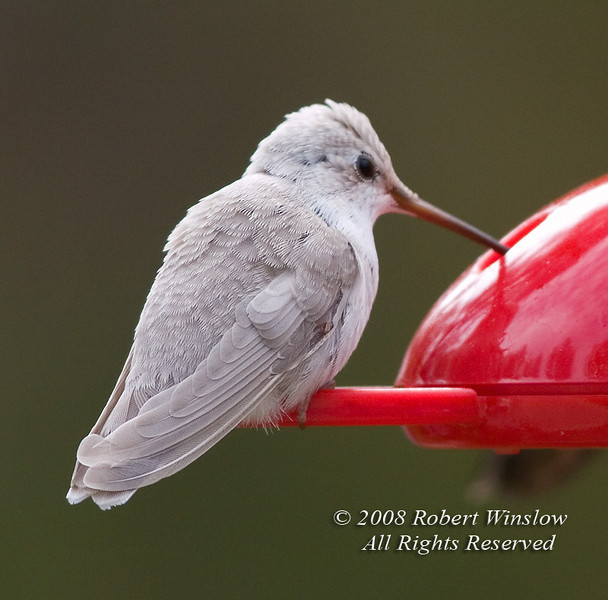 White Hummingbird, Leucistic Black-chinned Hummingbird, Archilochus alexandri, La Plata County, Colorado, USA, North America, Approximate elevation 7500 feet, Class: Aves, Subclass: Neornithes, Infraclass: Neognathae, (unranked) Cypselomorphae, Order: Apodiformes, Family: Trochilidae