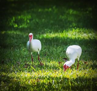 P3200013_White Ibis