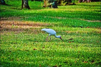 008_white ibis_2021-06-04