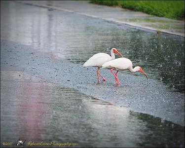 2017-06-11_P6110021_white ibis clwtr