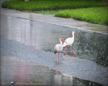 2017-06-11_P6110028_white ibis clwtr