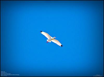 P5080021_white ibis