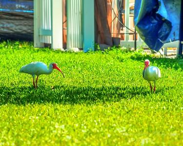 White Ibis,Clearwater,fl (amworkflo,tut)   2018-03-24-3240022_2 - Hint of Mod