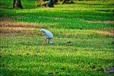 013_white ibis_2021-06-04
