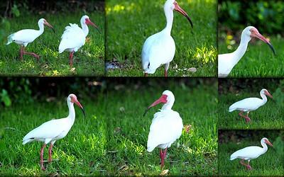 White Ibis 2016-05-08