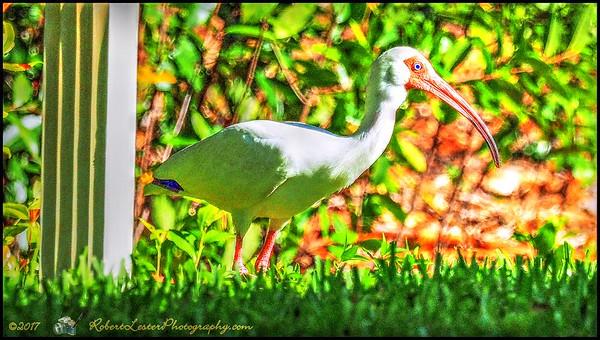 2017-05-07_P5070068_white ibis,Clwtr,Fl_vib,colsat6 1,whitcl7 0