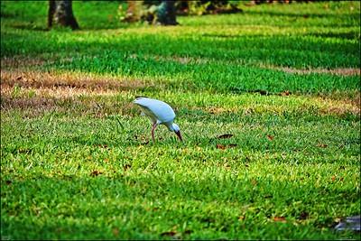 014_white ibis_2021-06-04