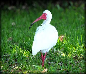 2016-05-08_P5080006_White Ibis