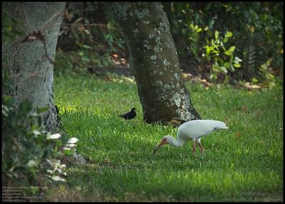 P4120049_White Ibis