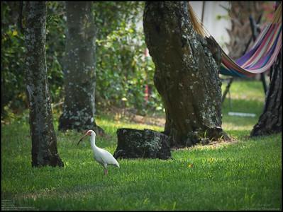 P4120015_White Ibis