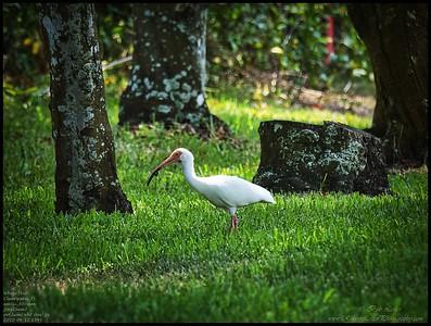P4120014_White Ibis