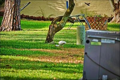 035_white ibis_2021-06-04