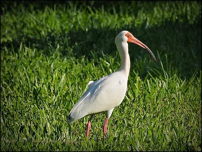 White Ibis_P4230011_Clwtr,Fl