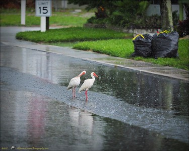 2017-06-11_P6110016_white ibis clwtr