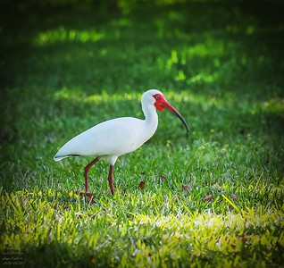 P3200007_White Ibis