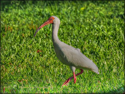 White Ibis_P4230004_Clwtr,Fl_PAINTERLY,LUM 10 0