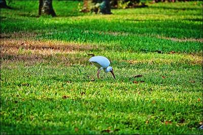 020_white ibis_2021-06-04