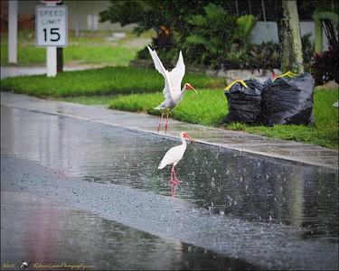 2017-06-11_P6110030_white ibis clwtr