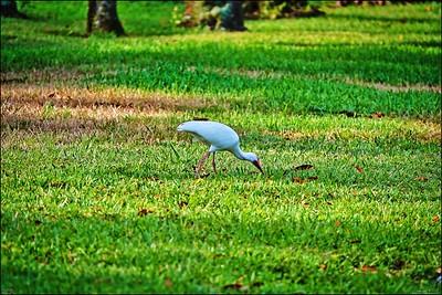 009_white ibis_2021-06-04