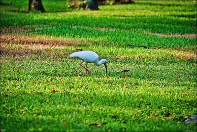 011_white ibis_2021-06-04