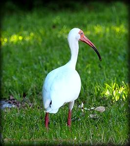 2016-05-08_P5080060_White Ibis