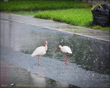 2017-06-11_P6110022_white ibis clwtr