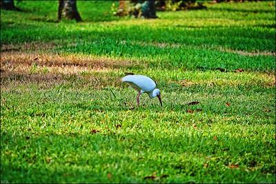 017_white ibis_2021-06-04