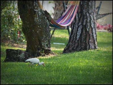 P4120026_White Ibis
