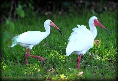 2016-05-08_P5080007_White Ibis