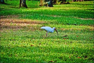 016_white ibis_2021-06-04