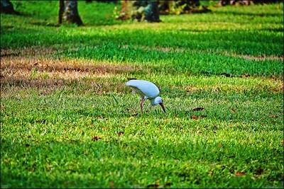 019_white ibis_2021-06-04