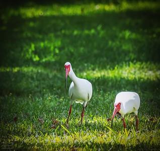 P3200014_White Ibis
