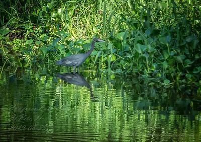 2019-08-25_1600hrs m1 40x150 ap meterspot  Sawgrass Lake Park,St Pete,Fl __8250124