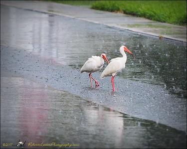 2017-06-11_P6110019_white ibis clwtr