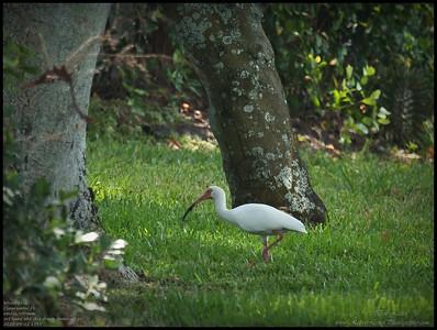 P4120059_White Ibis