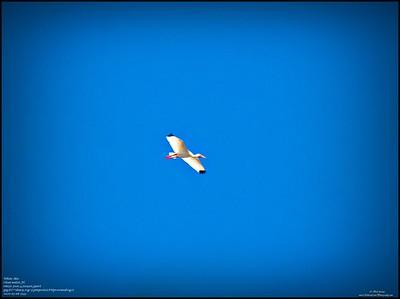 P5080022_white ibis