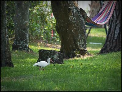 P4120021_White Ibis
