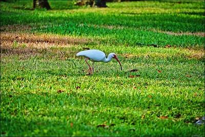 010_white ibis_2021-06-04