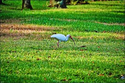 021_white ibis_2021-06-04