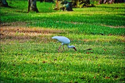 007_white ibis_2021-06-04