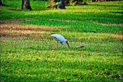 015_white ibis_2021-06-04