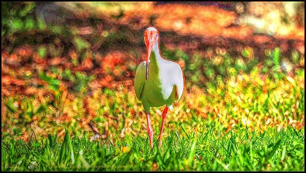 2017-05-07_P5070067_white ibis,Clwtr,Fl_vib,colsat6 1,whitcl7 0