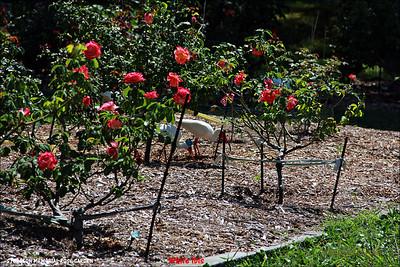 IMG_4833_STURGEON MEMORIAL ROSE GARDEN 050811