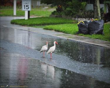 2017-06-11_P6110017_white ibis clwtr
