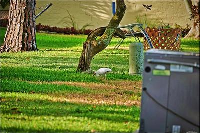 036_white ibis_2021-06-04